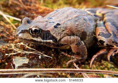 Sugar Hill Frog