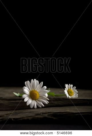 Two White Daisies On A Slate Slab