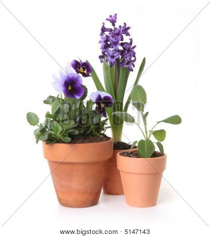 Colorful Spring Flowers Of Pansies And Hyacinth In Pots