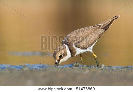 Little Ringed Plover - charadrius dubius