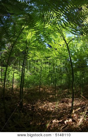 Miniature Fern Forest Amongst Fallen Pine Tree Needles