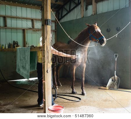 Woman Cooling Down Chestnut Horse In A Barn