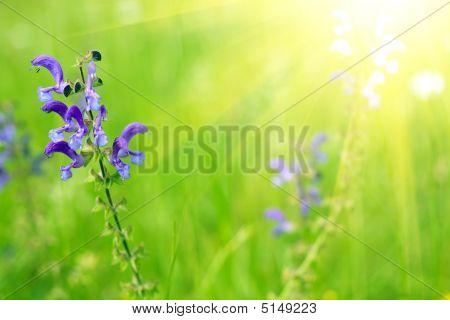 Blue Sage In Sunlight