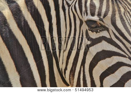 Zebra - Wildlife Background from Africa - Nature beauty and Animal Kingdom brilliance