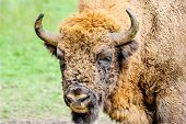 Portrait Of The European Bison