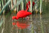 stock photo of scarlet ibis  - portrait of a scarlet ibis with his mirror reflection in the water - JPG