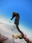 pic of seahorses  - A black seahorse wrapped around a rope