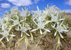 stock photo of sand lilies  - wild lily on the shore of the Mediterranean sea - JPG