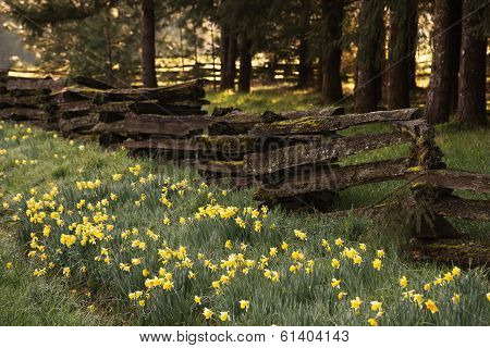 Wooded Daffodil Row
