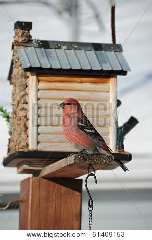 red pine grosbeak on feeder