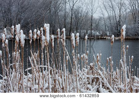 Winter Pussy Willows At A Pond