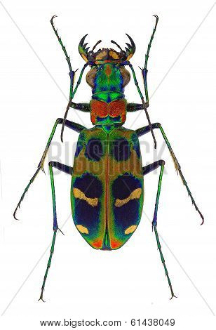 exotic tiger beetle Cicindela chinensis
