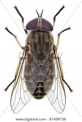 Horsefly (Tabanus sp.)
