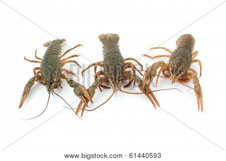 River Raw Crayfishes