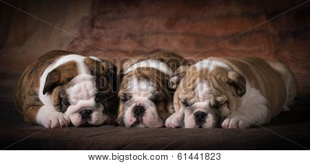 cute english bulldog puppies sleeping - 7 weeks old
