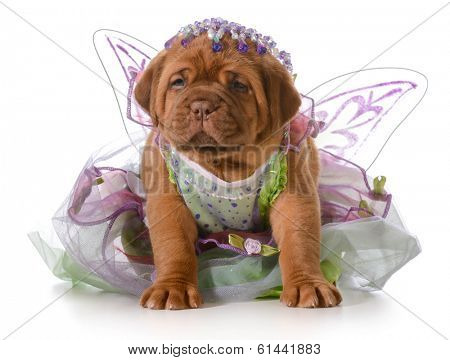 female puppy - dogue de bordeaux puppy wearing princess dress isolated on white background - 5 weeks old
