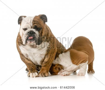 nursing mother dog - english bulldog with puppy isolated on white background