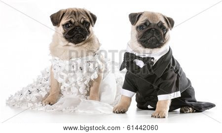 dog bride and groom - pugs isolated on white background
