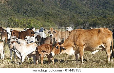 Australian Beef Cattle Herd Of Cows On Ranch
