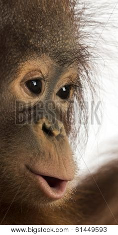 Close-up of a young Bornean orangutan's profile, Pongo pygmaeus, 18 months old, isolated on white