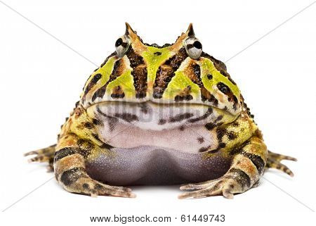 Front view of an Argentine Horned Frog, Ceratophrys ornata, isolated on white