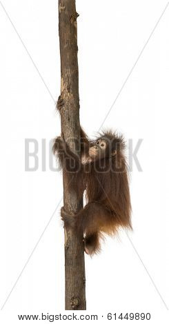 Side view of a young Bornean orangutan climbing on a tree trunk, Pongo pygmaeus, 18 months old, isolated on white