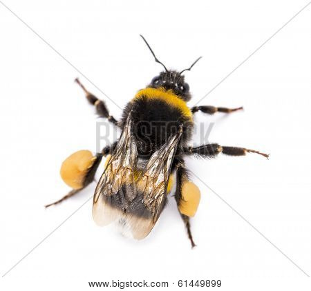 View from up high of a Buff-tailed bumblebee, Bombus terrestris, isolated on white
