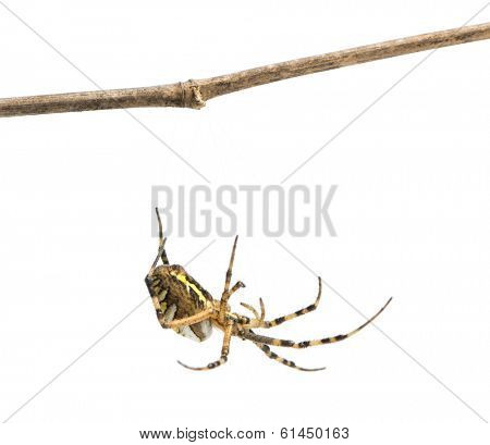 Wasp spider hanging from a branch, Argiope bruennichi, isolated on white