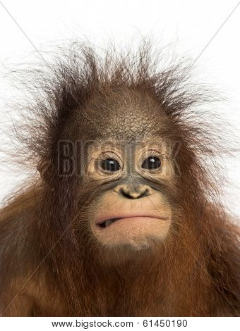 Close-up of a young Bornean orangutan making a face, Pongo pygmaeus, 18 months old, isolated on white
