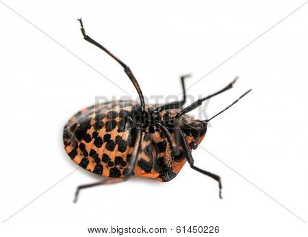 Italian Striped-Bug lying on the back, struggling, Graphosoma lineatum, isolated on white