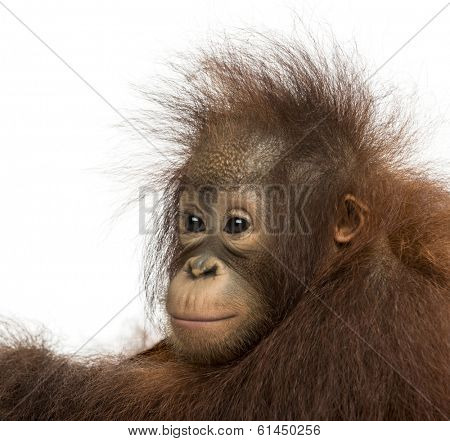 Close-up of a young Bornean orangutan, looking away, Pongo pygmaeus, 18 months old, isolated on white