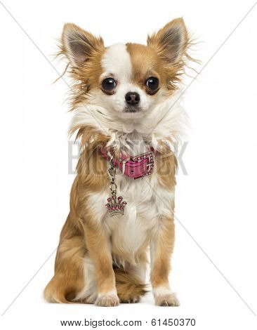 Chihuahua wearing a shiny collar, sitting, 7 months old, isolated on white