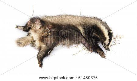 Roadkill European badger lying on its back in state of decomposition, Meles meles, isolated on white