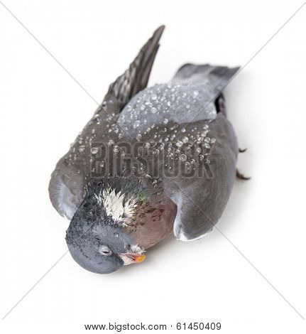 View from up high of a Dead Rock Pigeon covered with dew drops, Columba livia, isolated on white