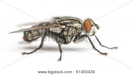 Flesh fly, Sarcophagidae, isolated on white