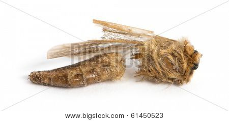 Dead moth in state of decomposition, isolated on white