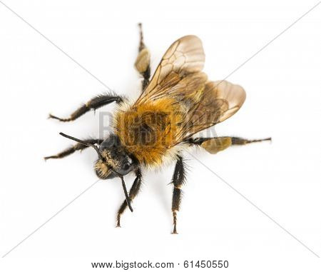 View from up high of a European honey bee, Apis mellifera, isolated on white