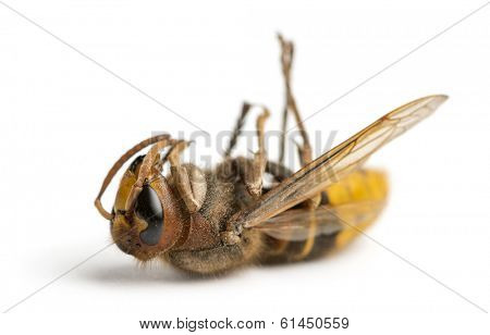 Dead Hornet lying on its back, isolated on white