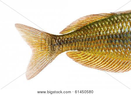Close-up of an Eastern Rainbowfish's caudal fin, Melanotaenia splendida splendida, isolated on white