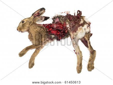 Roadkill dead Hare lying on the side, isolated on white