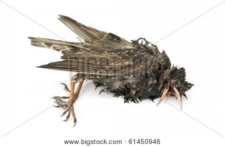 Side view of a dead Common Starling in state of decomposition, Sturnus vulgaris, isolated on white