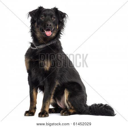 Crossbreed dog sitting, panting, isolated on white