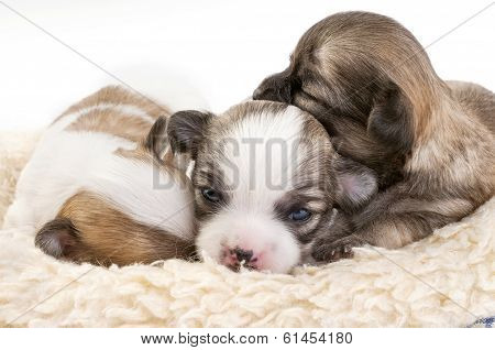 Sweet chihuahua puppies litter huddled together