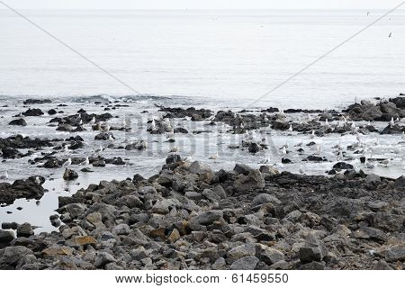 Seagulls In A Basaltic Seaside In Jeju Island