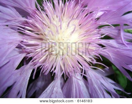 Violet Flower, Medicinal Plant, Vegetation