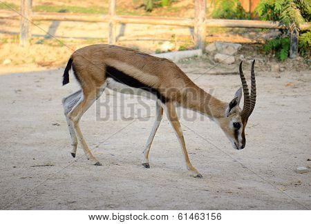 Male Thomson's Gazelle (eudorcas Thomsonii)