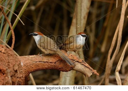 Chestnut-capped Babbler (timalia Pileata)