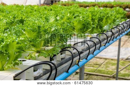 Filey Iceberg Lettuce Plantation