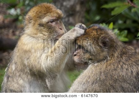Barbary macaques grooming