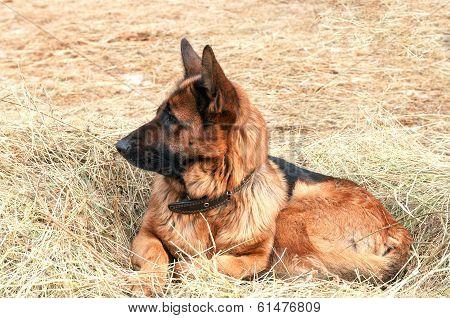 German Shepard Dog Laying On The Hay